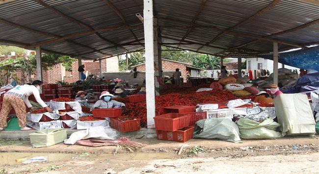 Người trồng ớt thua đậm