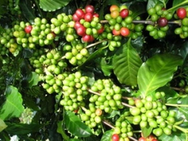 Vicofa hỗ trợ Tây Nguyên 296.000 cây cà phê giống