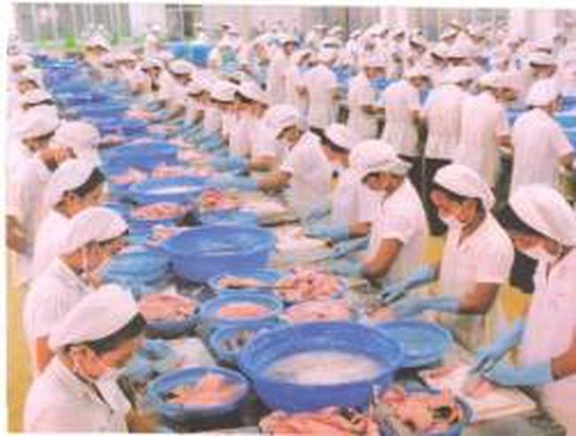 Thiếu cá tra nguyên liệu đạt chuẩn