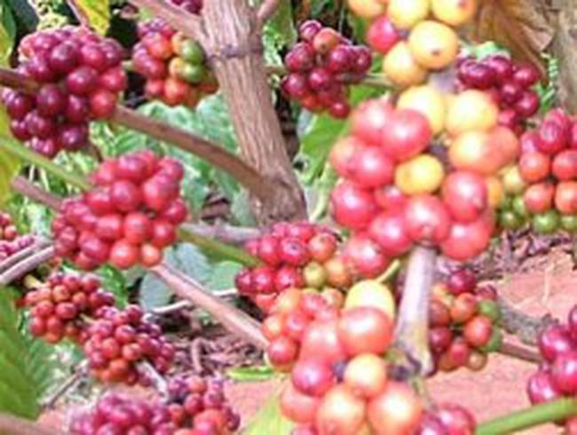 Thị trường cà phê 2012: Một năm nhìn lại