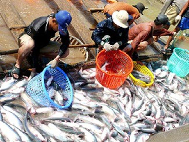 Người nuôi cá tra đang lỗ khoảng 2.000-3.000 đồng/kg cá