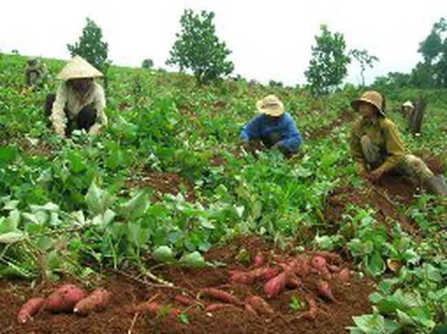 Lợi nhuận của chủ vựa gấp 15 lần người trồng khoai