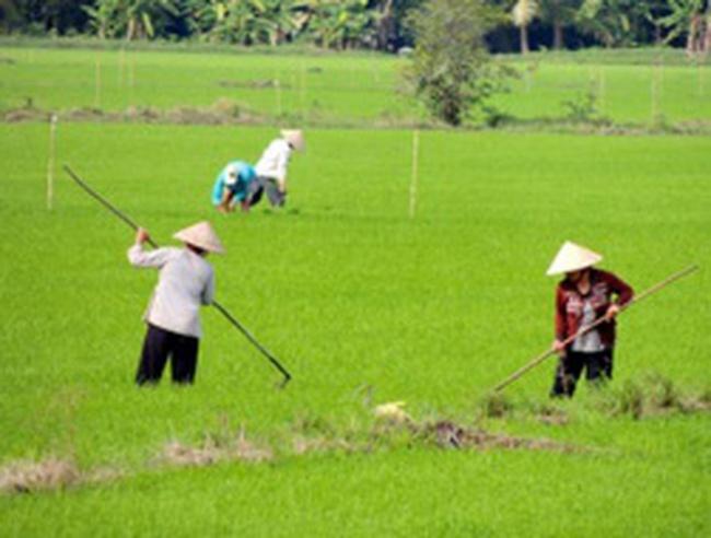 Thương lái Trung Quốc lại tung chiêu mua giống lúa, tắc kè