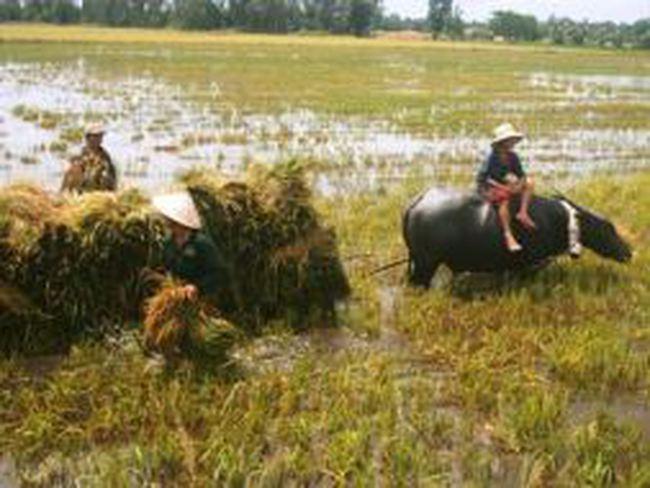ĐBSCL: Hàng ngàn héc ta lúa thu đông bị ngập do mua lũ và triều cường