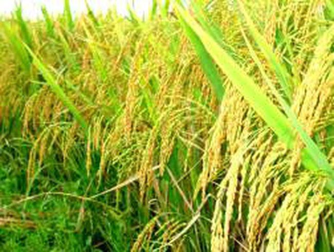 Philippines, Myanmar, Thái Lan lập hiệp hội lúa gạo