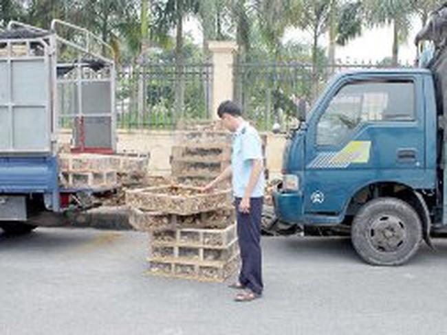 Gà giống Trung Quốc ồ ạt nhập lậu