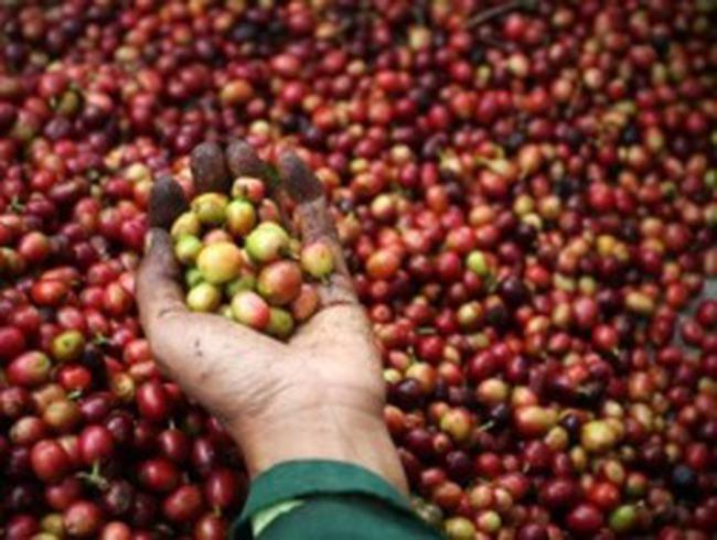 Găm hàng chờ giá: Bài học quý cho ngành cà phê