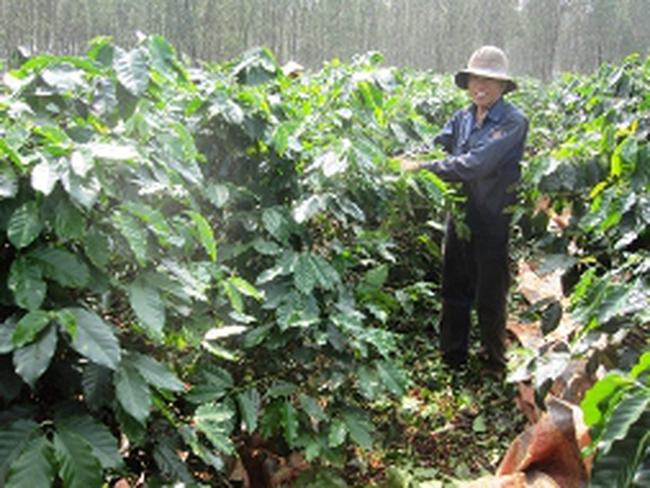 Nông dân đua nhau hái cà phê xanh để...chống trộm