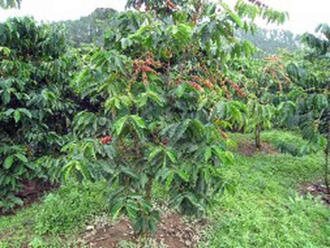 Quy hoạch ngành cà phê: Không chạy theo diện tích