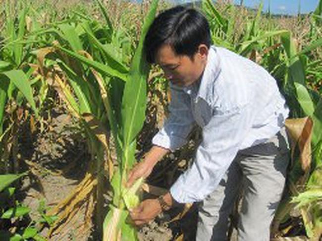 Gia Lai: Hạn nặng, hàng trăm ha bắp mất trắng