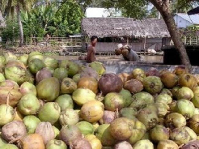 Giá dừa khô tại tỉnh Trà Vinh bắt đầu tăng trở lại