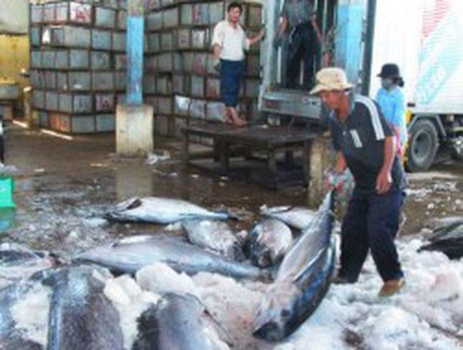 """Cá ngừ đại dương giảm giá vì """"câu đèn"""""""