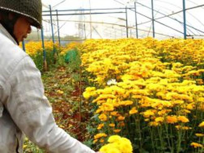 Nông dân Đà Lạt nhổ hoa cúc chùm …đem đốt