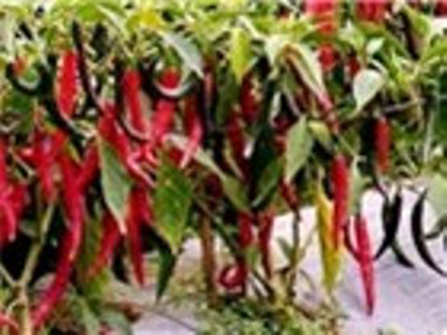 """Người trồng ớt nếm vị """"đắng"""""""