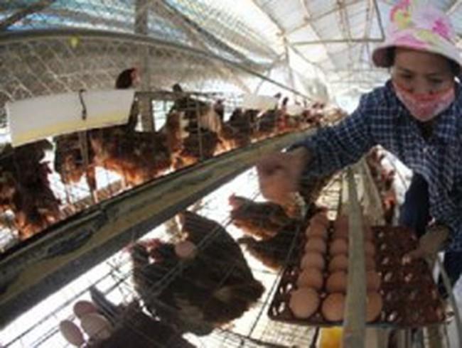 Tăng giá trứng: Người chăn nuôi không được lợi
