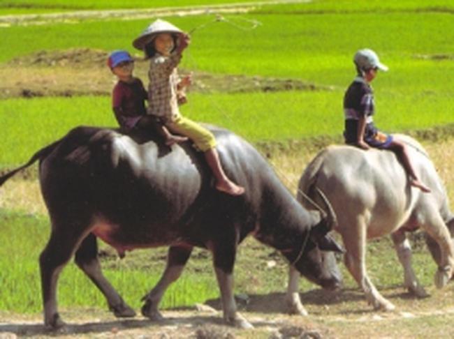 Bất thường thương lái Trung Quốc đổ xô mua phân trâu khô?