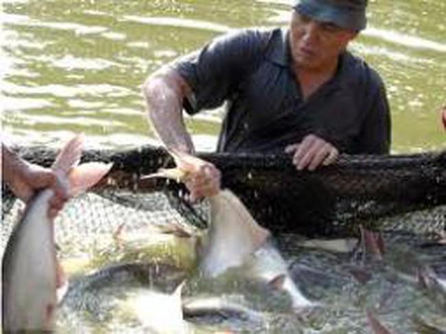 Ngành cá tra rệu rã