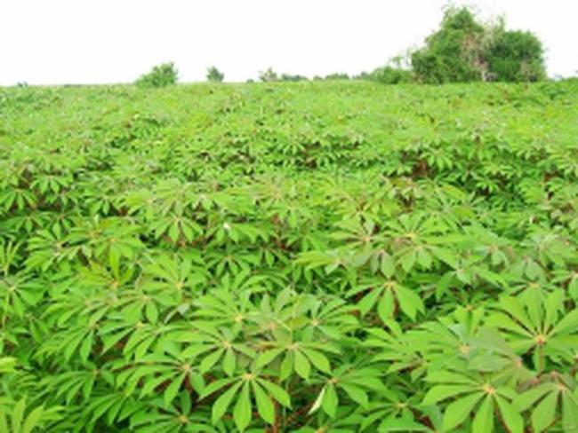 Khuyến cáo nông dân không trồng khoai mì bán lá