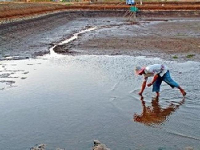 Nhiều vùng nuôi tôm Cà Mau mất trắng vì thiếu nước