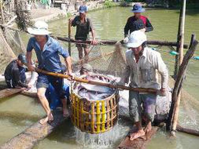 Cá tra: càng nuôi càng lỗ
