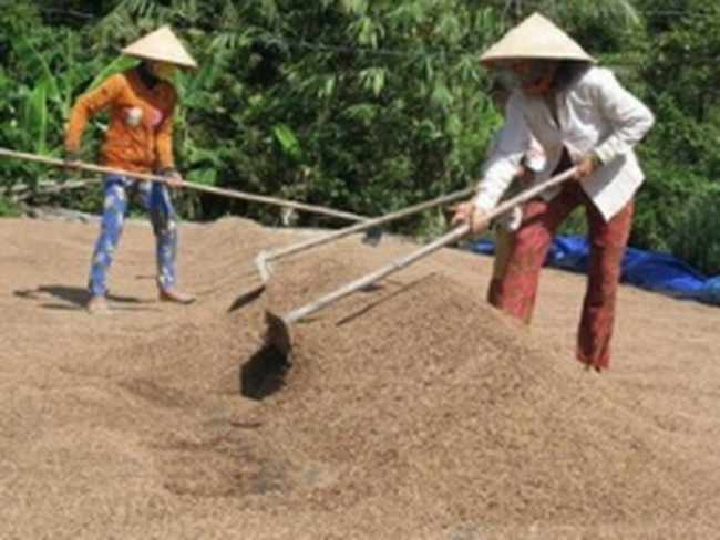 ĐBSCL: Giá lúa gạo tiếp tục tăng, nông dân trữ hàng