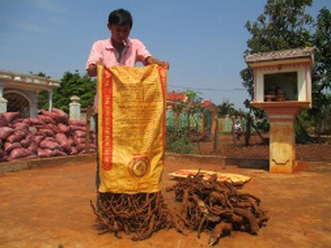 Thương lái Trung Quốc lùng mua rễ, gốc cây tiêu
