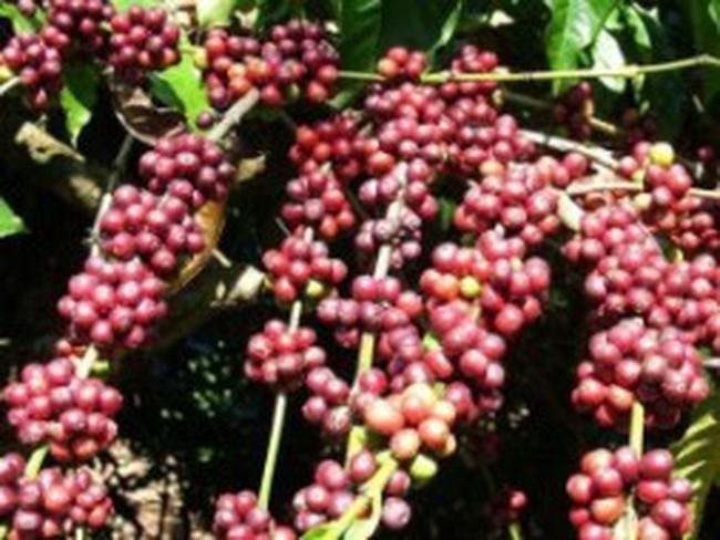 Việt Nam tăng cung ra thị trường, giá cà phê chịu áp lực giảm