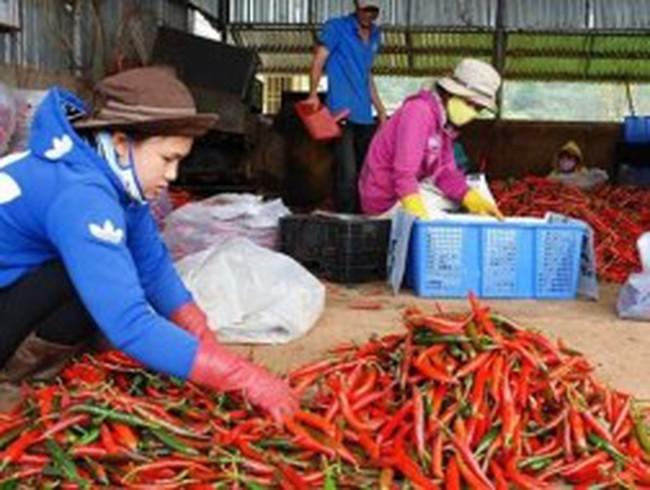 Giá ớt xuất khẩu giảm mạnh