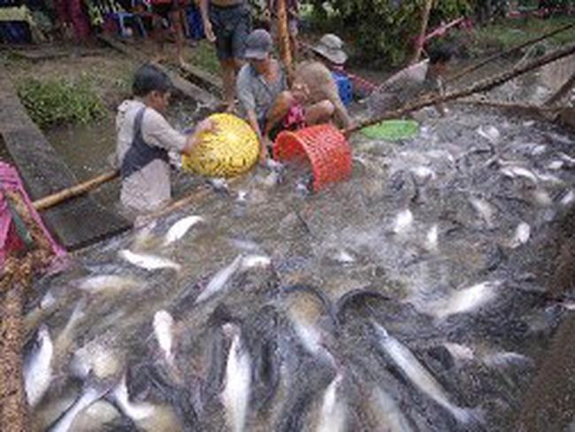 Sản lượng sụt giảm nghiêm trọng, giá cá tra tăng mạnh