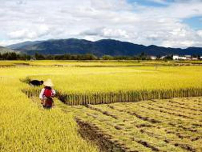 Trung Quốc tăng nhập khẩu gạo và những ảnh hưởng tới khu vực châu Á