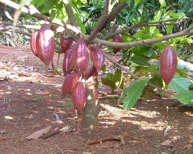 Cacao giá thấp, nhà vườn đốn bỏ