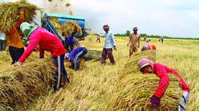 Giá lúa ĐBSCL tăng cao: Bền vững hay nhất thời?