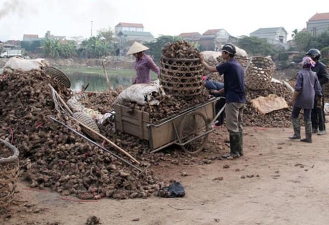 Vụ thu hoạch dong riềng: Giá đã rẻ, bán cũng khó