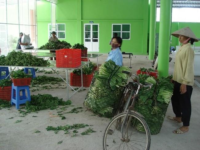 Rau xanh làm người trồng điêu đứng