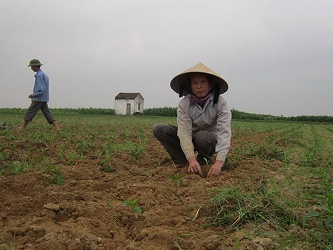 Đâm lo vì trót trồng ớt Trung Quốc
