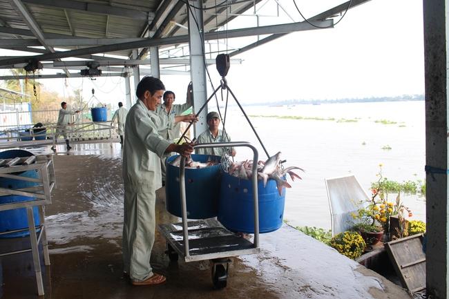 Nhiều vùng trọng điểm sản xuất cá tra giảm 50-60% sản lượng