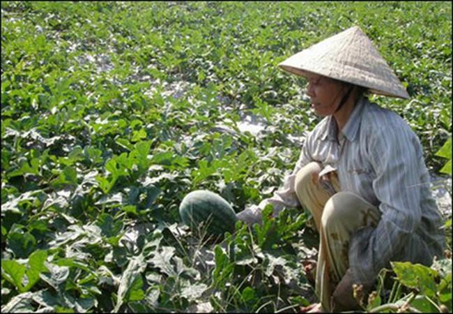 Người trồng dưa hấu thấp thỏm chờ giá