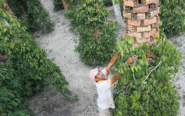 Nông dân lại đổ xô trồng tiêu