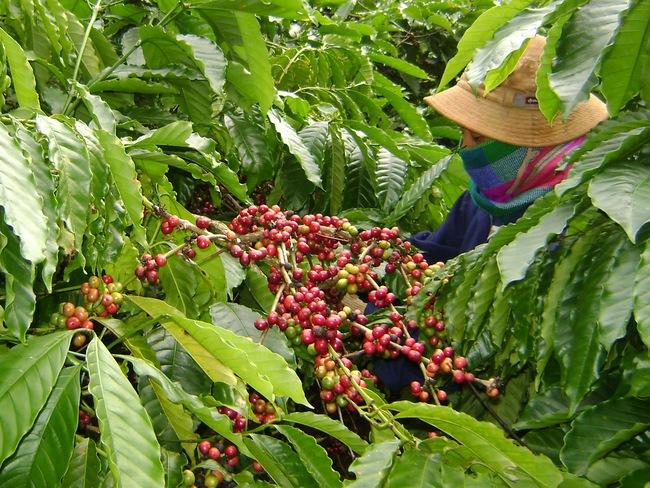 Đang vụ thu hoạch, cà phê liên tiếp rớt giá