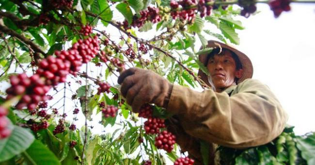 Nông dân mất nhiều tỷ đồng vì giá cà phê rớt thảm