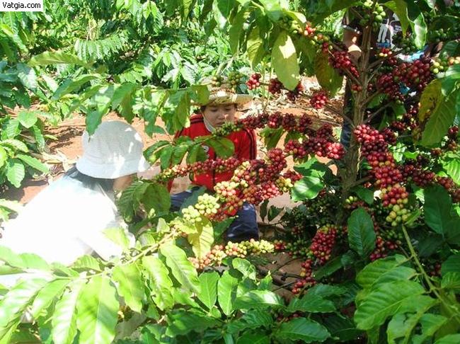 Hạt điều, cà phê nhiều triển vọng trên sân nhà