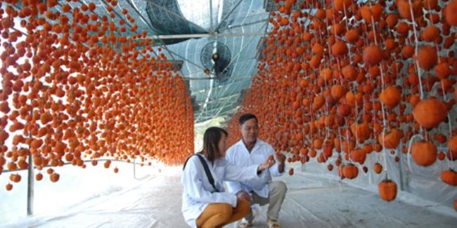 Đem công nghệ Nhật Bản về sấy hồng Đà Lạt