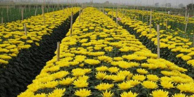 Những trăn trở từ một làng hoa