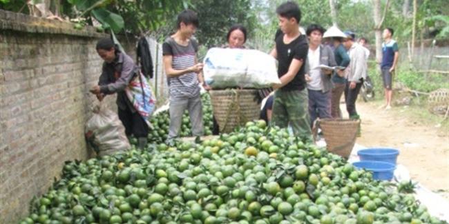 Cam Hàm Yên trúng lớn