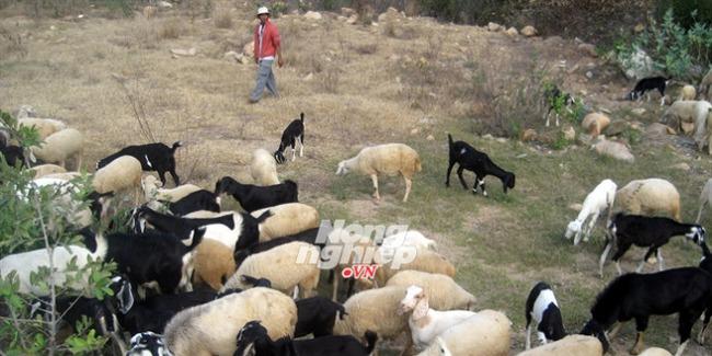 Làm giàu nơi mưa ít, nắng nhiều: Cần cơ chế đặc thù cho đàn dê, cừu