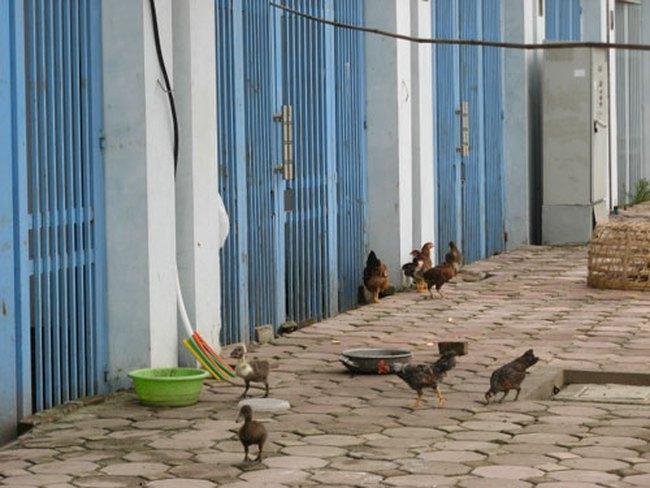 Nhà triệu đô Văn Phú biến thành chuồng gà, vịt