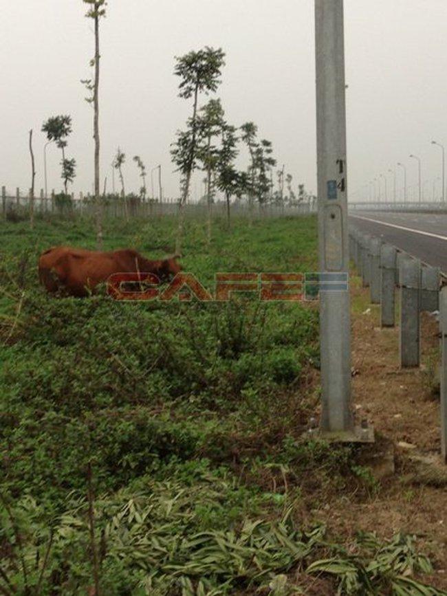 Thả bò, xả rác ngập Đại lộ Thăng Long