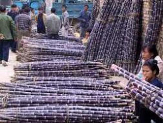 SBT: Mở rộng đầu tư trồng và khai thác mía sang Campuchia