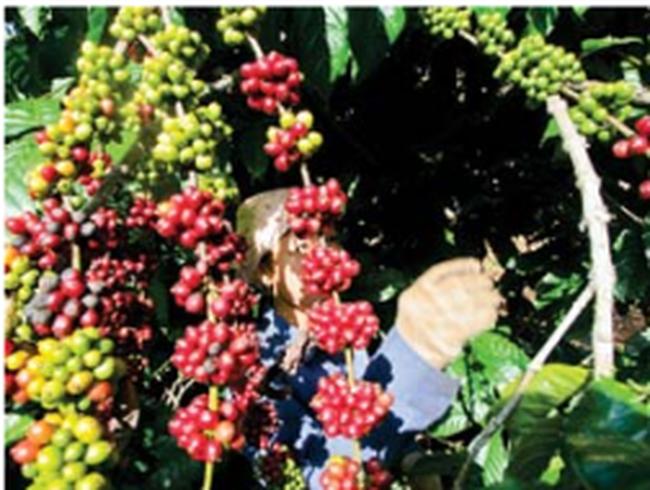 DN xuất khẩu cà phê: Mong được tiếp tục vay ngoại tệ