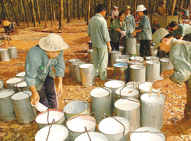 Cao su Tây Ninh rót hơn 1.300 tỷ đồng trồng cao su tại Campuchia